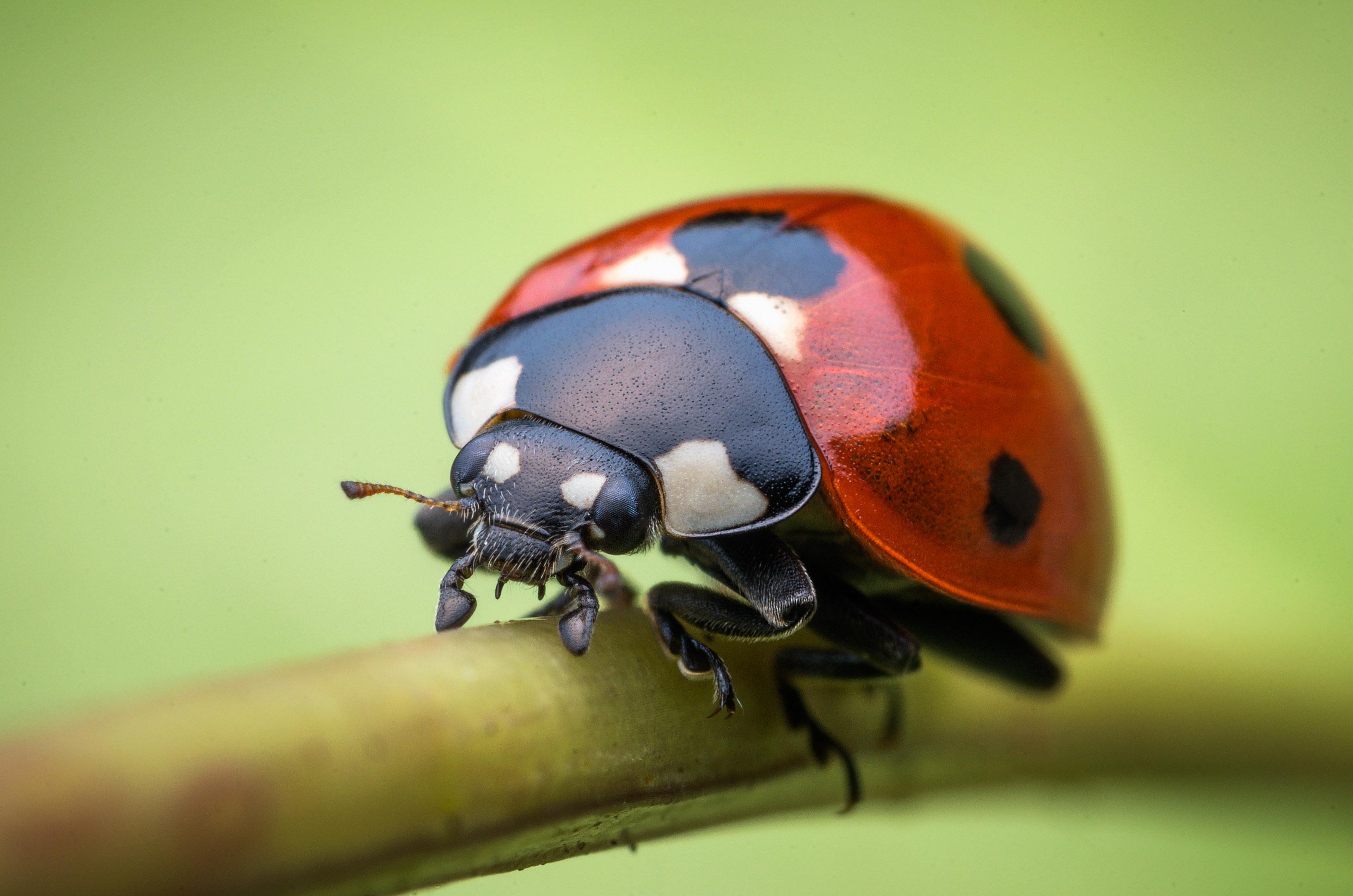 Lady Beetle Venus 60mm Macros Laowa Lens